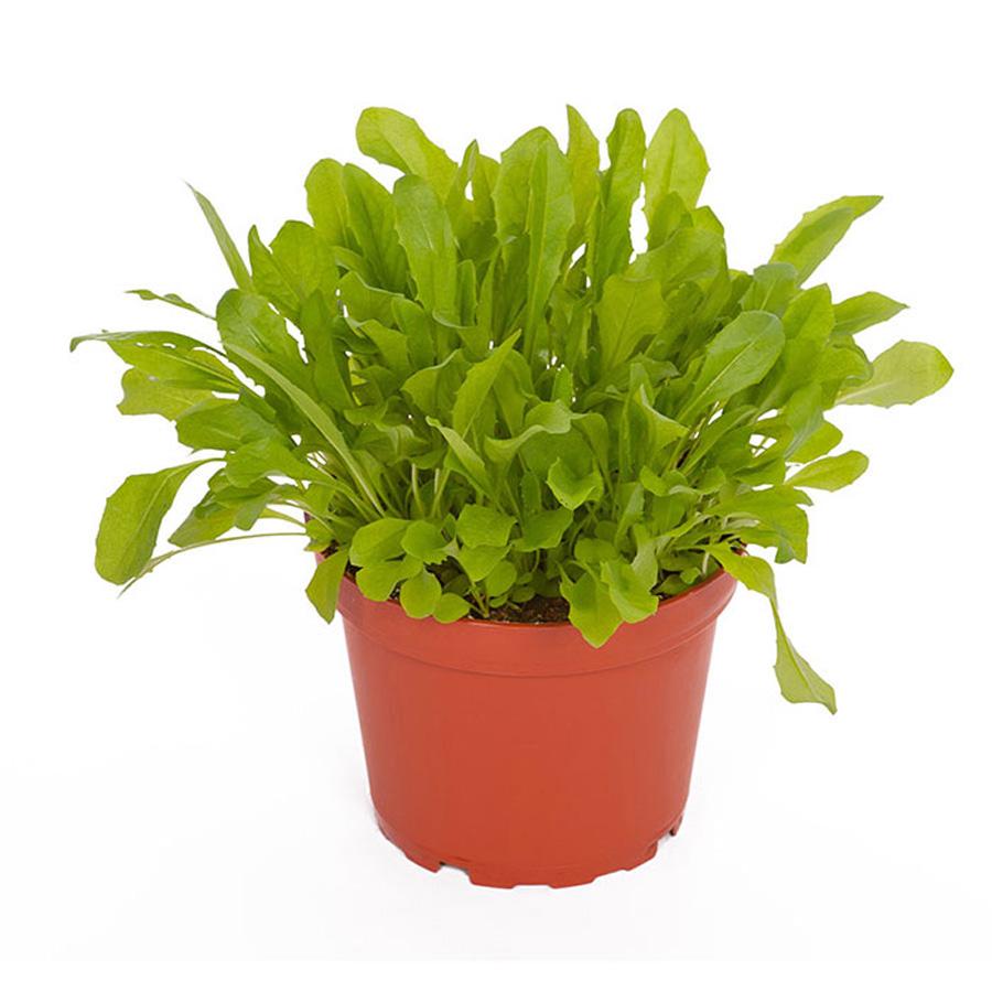 Pro Rep Live Edible Plant - Dandelion, 10cm Pot - OUT OF STOCK