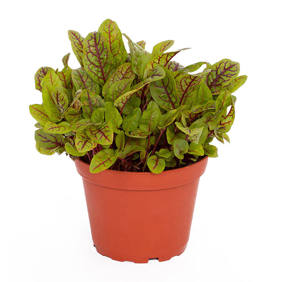 Pro Rep Live Food Plant - Red Sorrel/Red Pixie, 10cm Pot