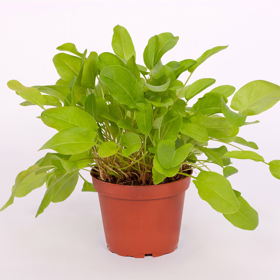 Pro Rep Live Edible Plant - Common Sorrel, 10cm Pot - Out Of Stock
