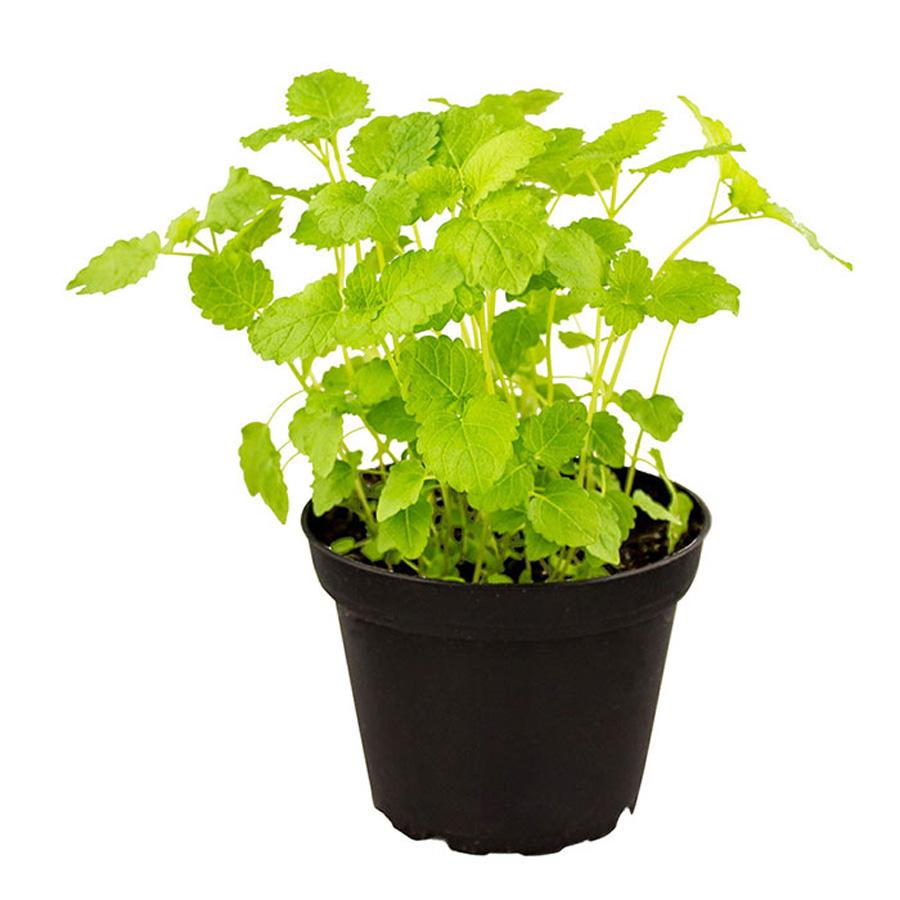 Pro Rep Live Edible Plant - Lemon Balm, 10cm Pot - OUT OF STOCK