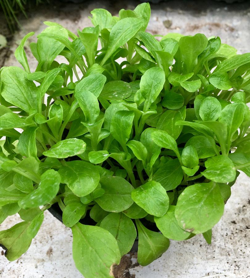 Pro Rep Live Edible Plant - Lamb's Lettuce, 10cm Pot - OUT OF STOCK