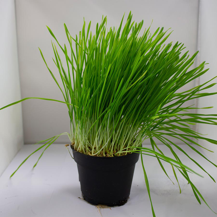 Pro Rep Live Edible Plant - Wheat Germ, 10cm Pot - OUT OF STOCK