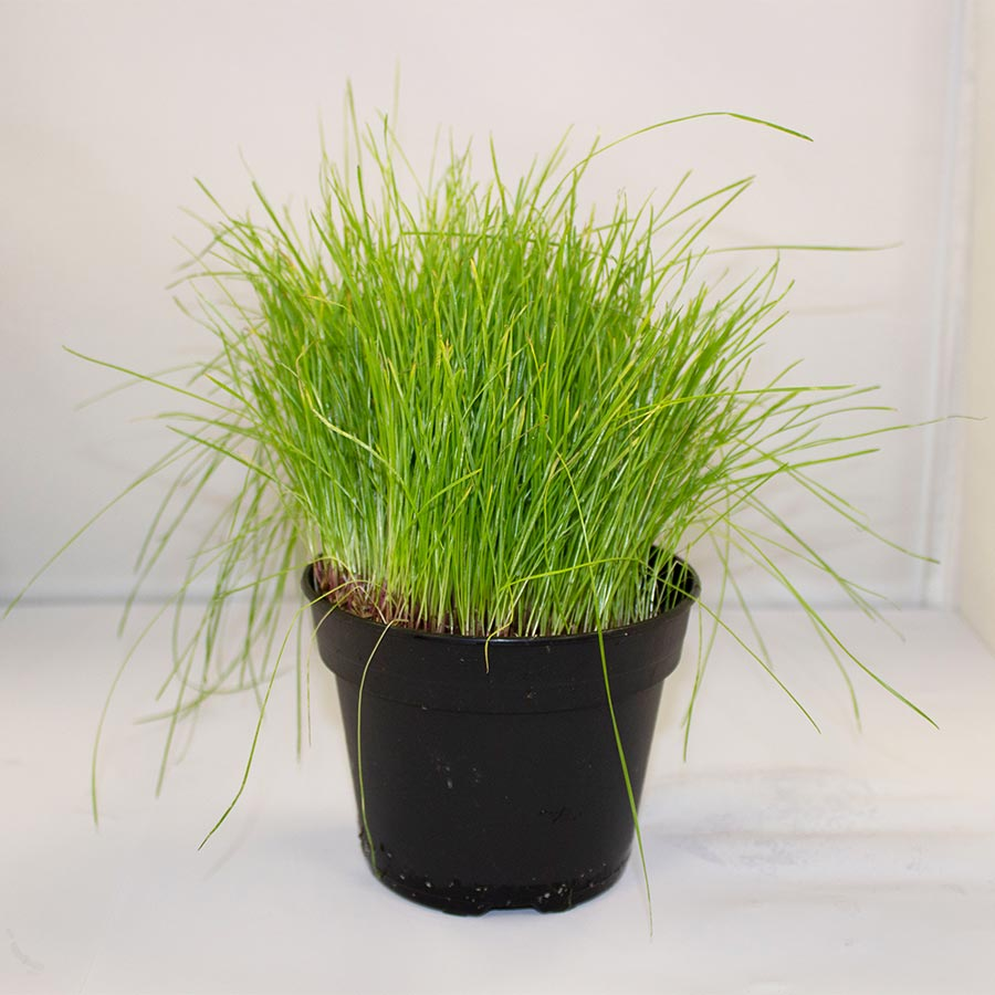 Pro Rep Live Edible Plant - Fine Forage Grass, 10cm Pot - Out of Stock