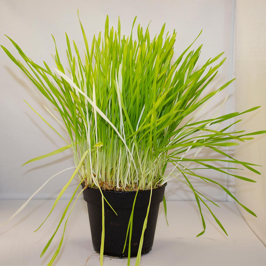 Pro Rep Live Food Plant - Barley Grass, 10cm Pot - Out of Stock