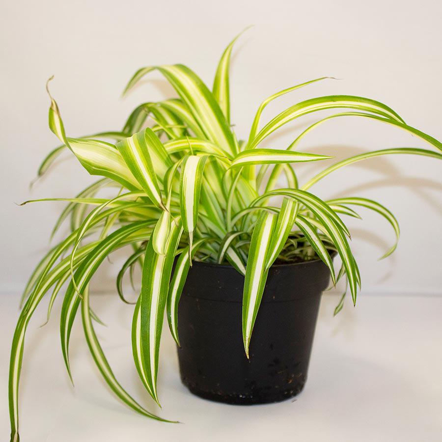 Pro Rep Live Edible Plant - Chlorophytum, 10cm Pot - OUT OF STOCK