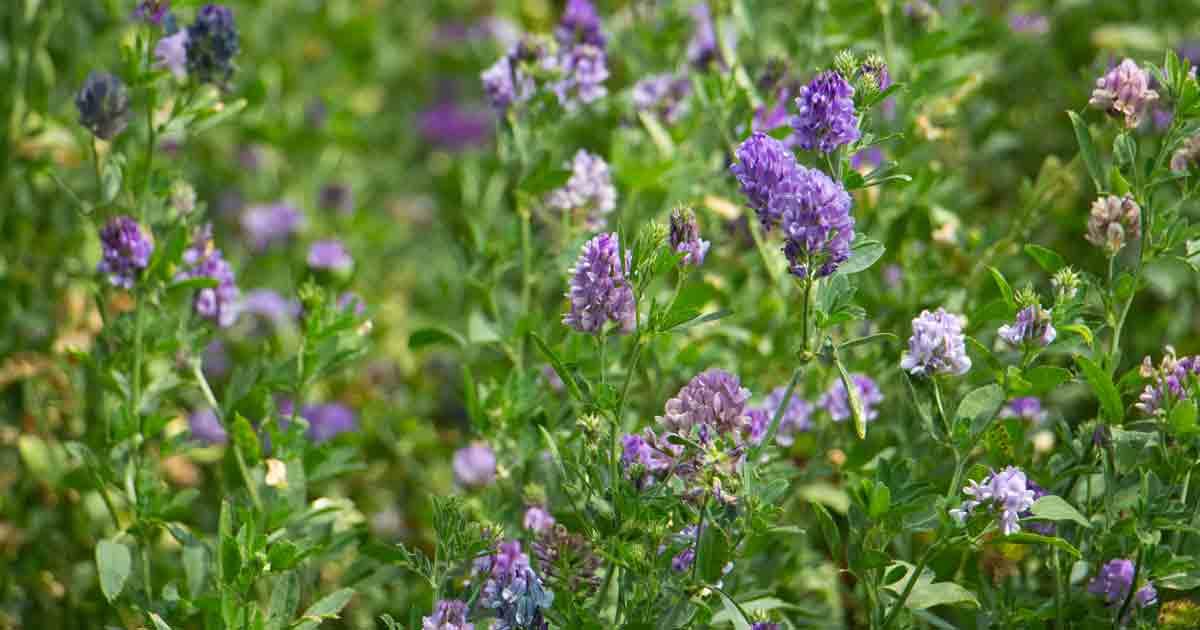 Lucky Reptile Herb Garden, Alfalfa Seeds 4g
