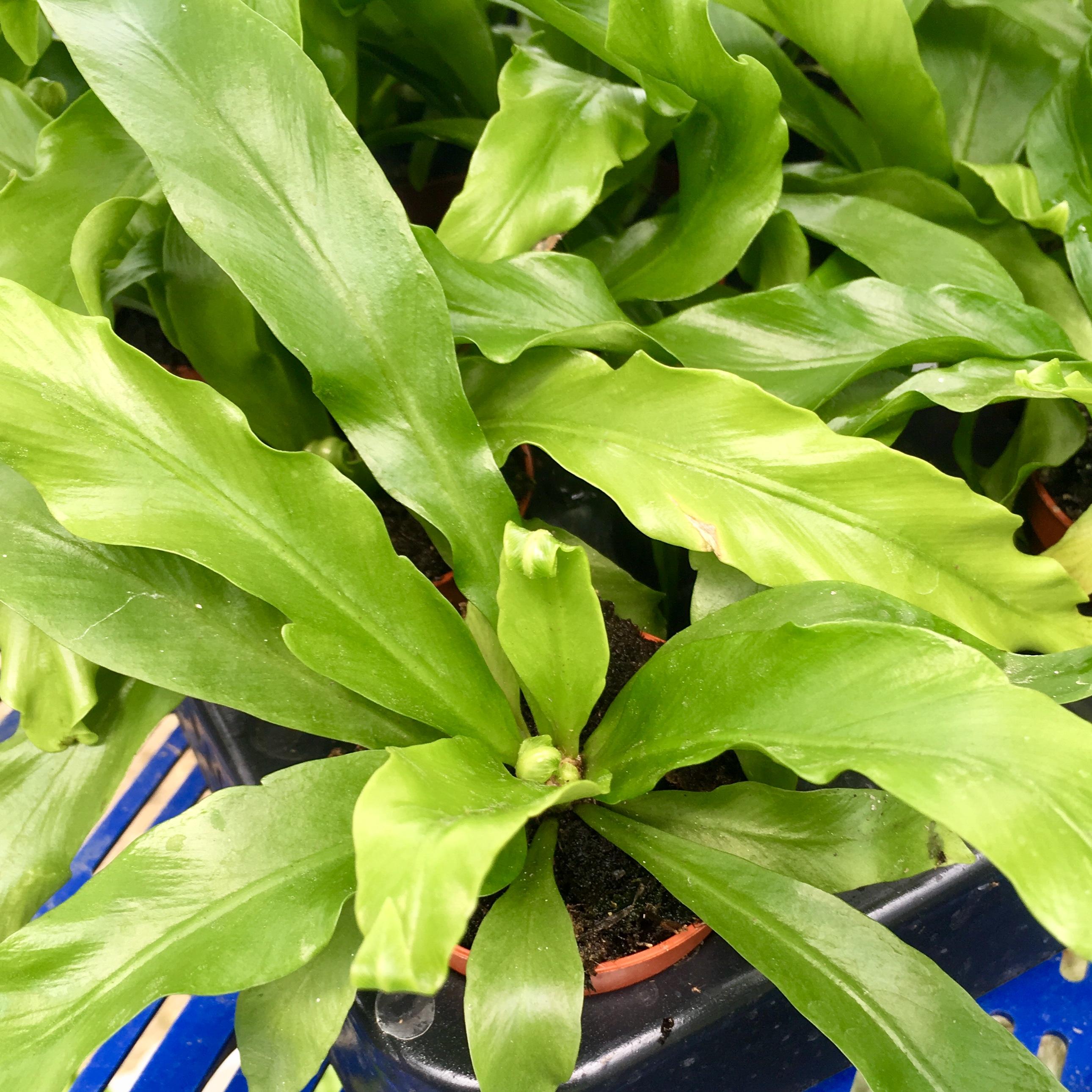 Pro Rep Live Edible Plant - Asplenium Antiquum 'Birds Nest Fern', 5cm Pot