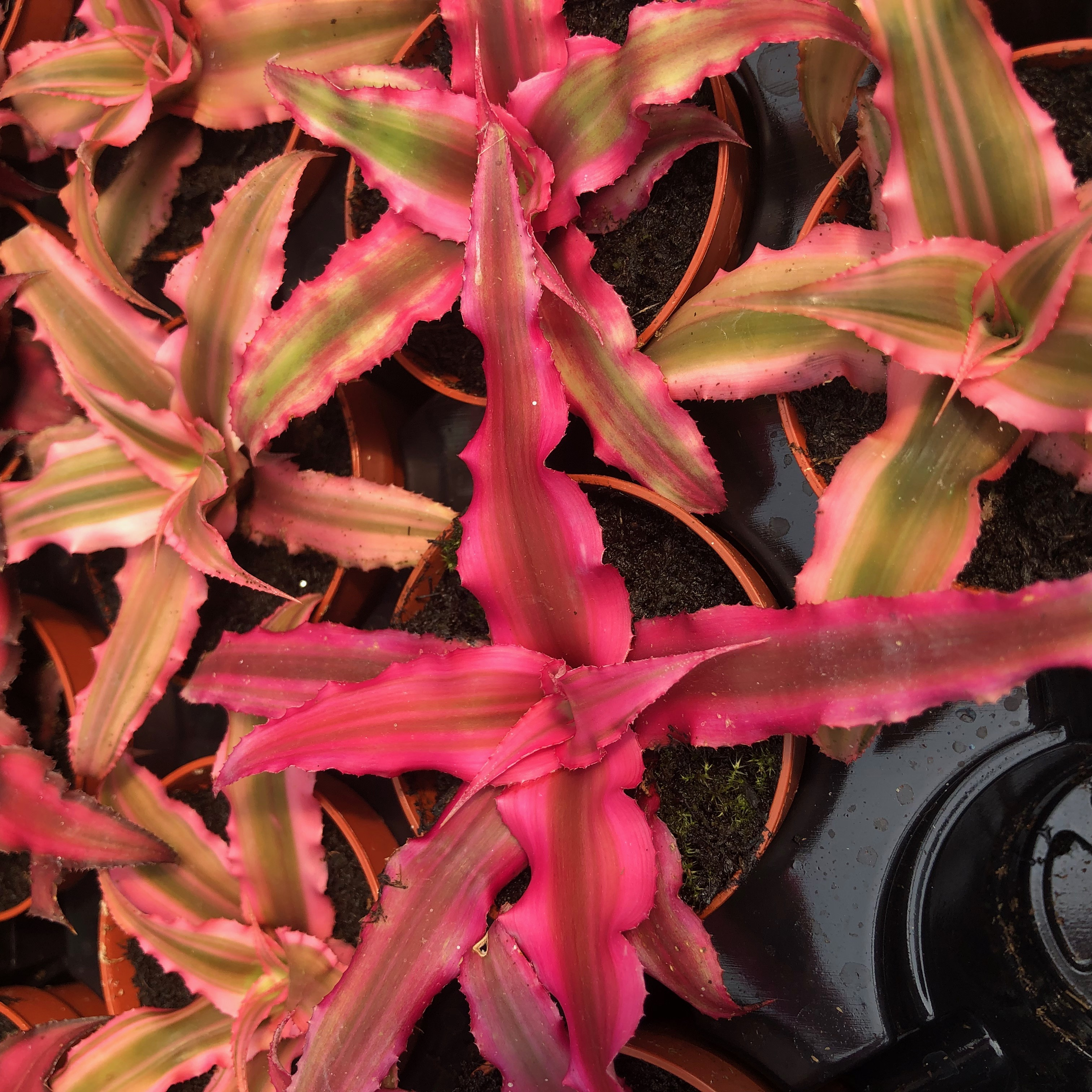 Pro Rep Live Edible Plant - Cryptanthus 'Earth Star', 5.5cm Pot - OUT OF STOCK