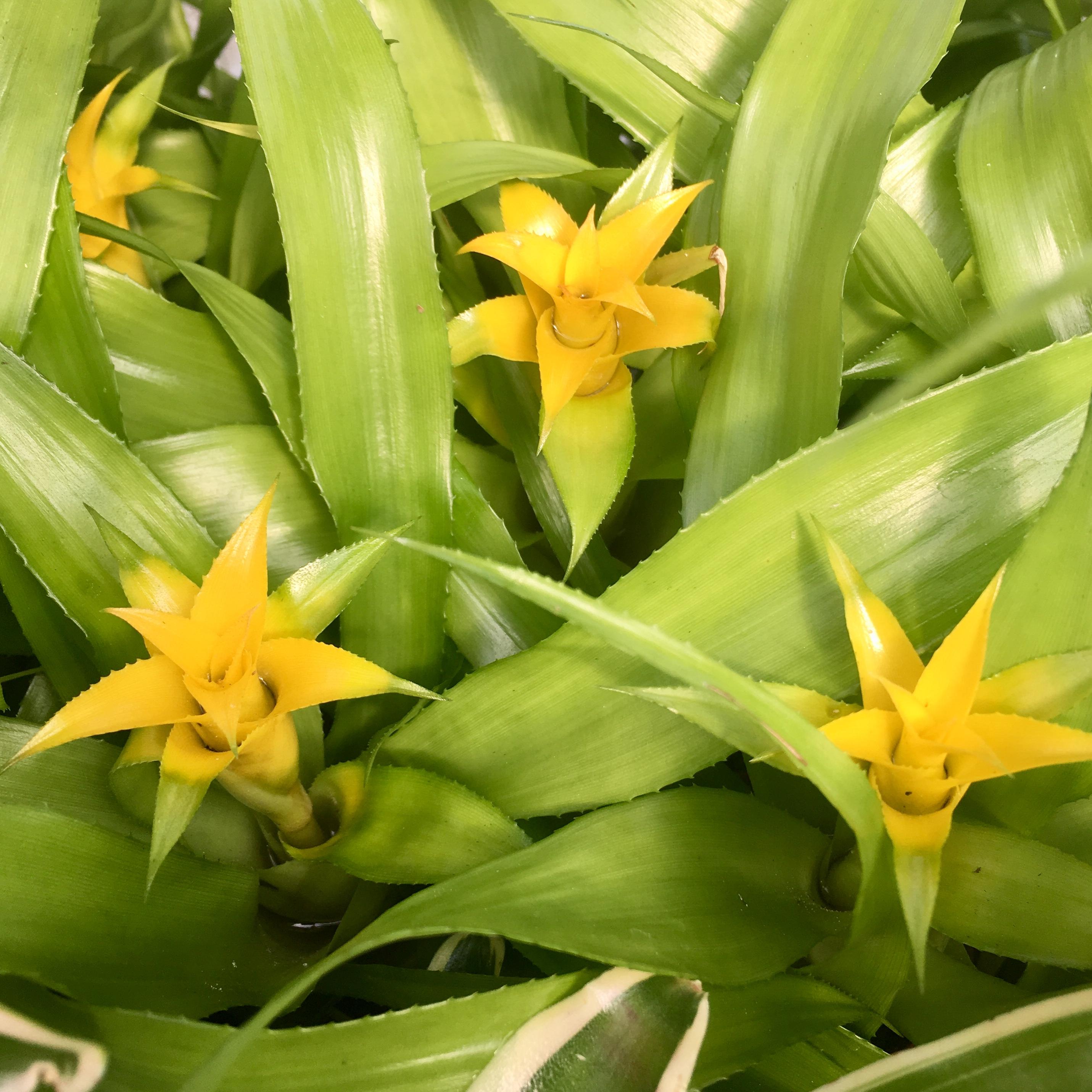 Pro Rep Live Edible Plant - Nidularium Citrina, 5.5cm Pot - OUT OF STOCK