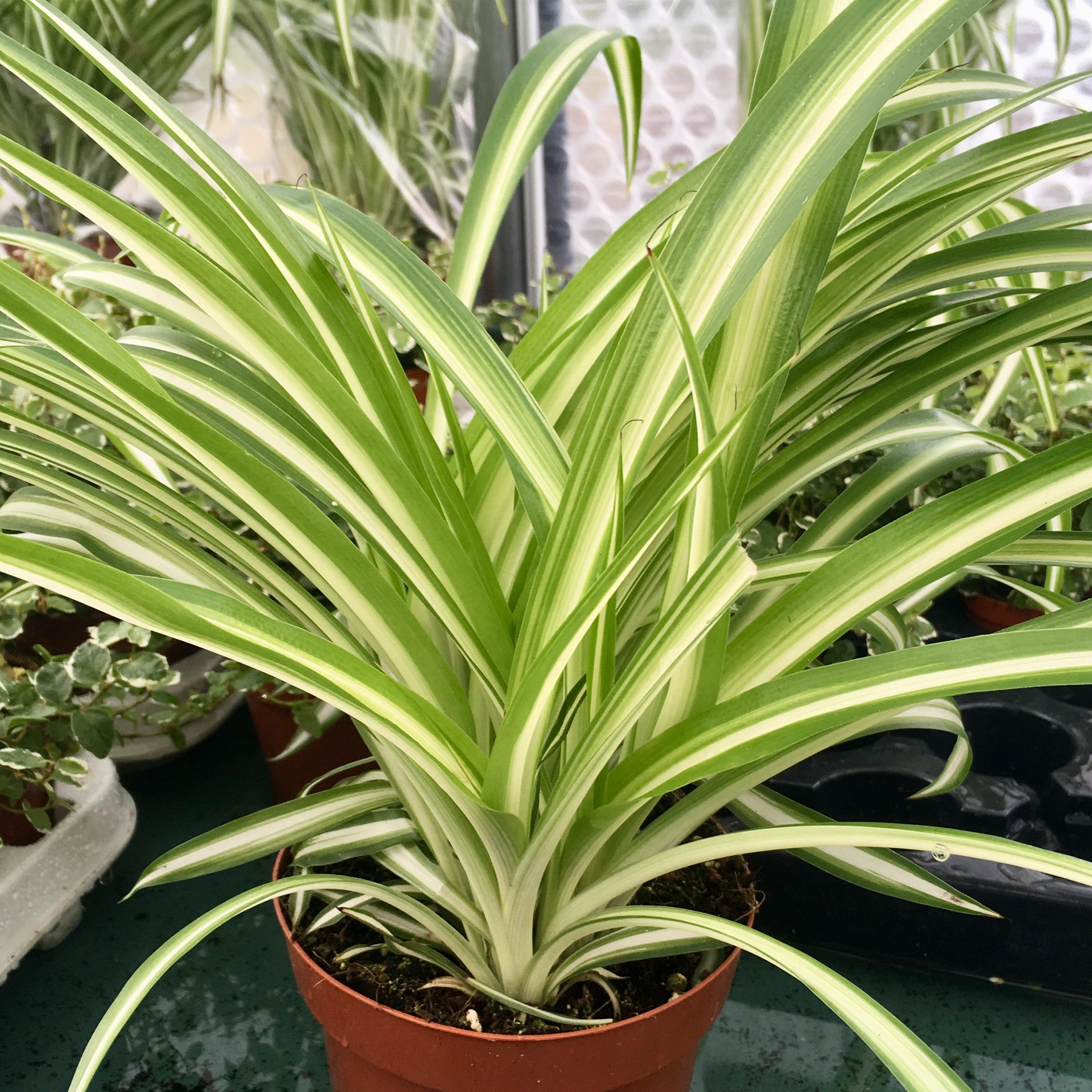 Pro Rep Live Edible Plant - Spider Plant (Chlorophytum Comosum) 12cm Pot