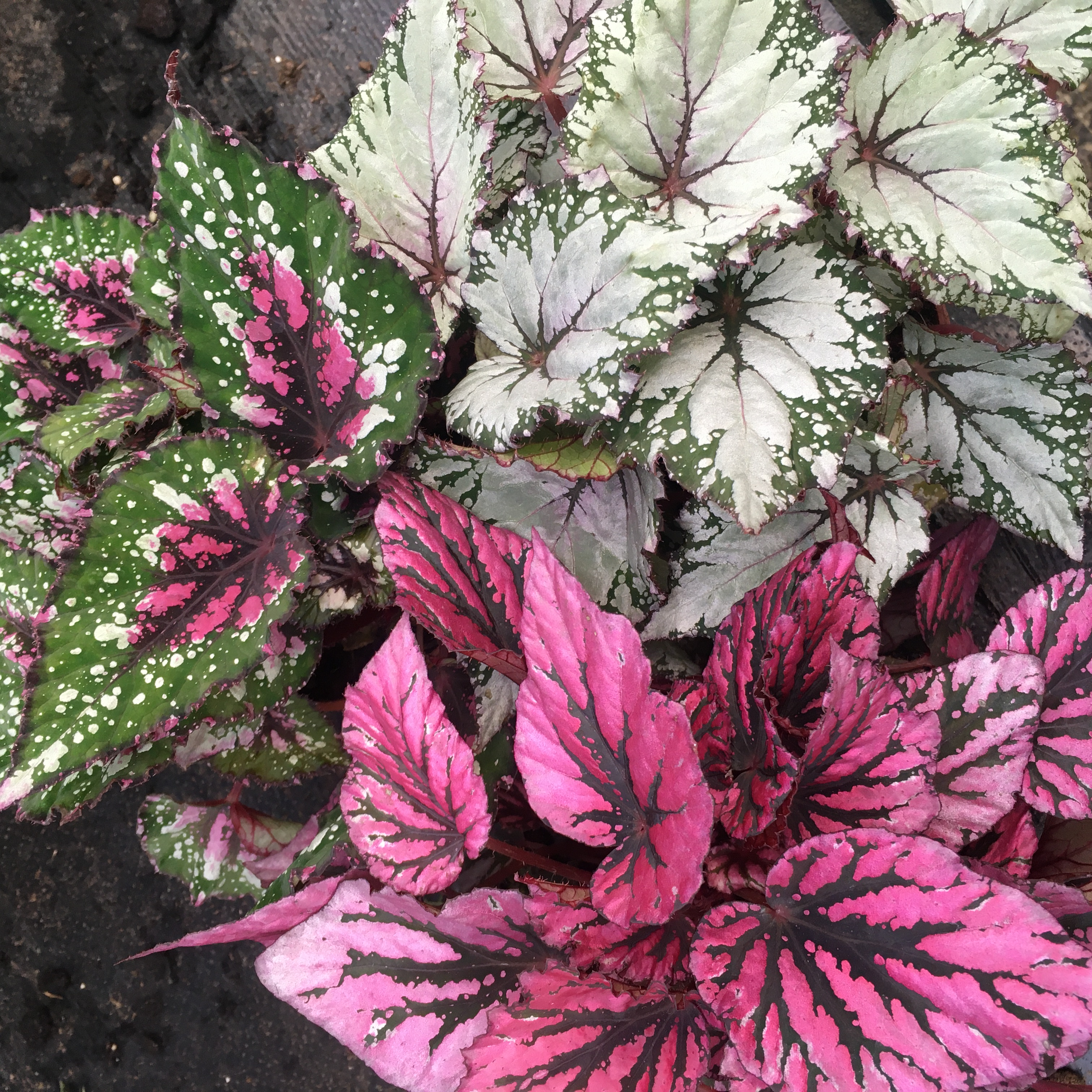 Pro Rep Live Edible Plant - Begonia (Large) - OUT OF STOCK