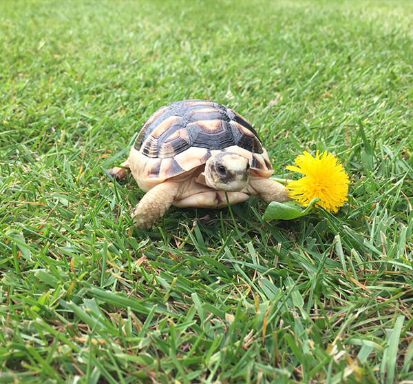 Marginated Tortoise – Testudo Marginata (UK CB 2020) - Out of Stock - Taking deposits for 2020 hatchlings now!!
