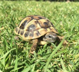 Eastern Hermann's Tortoise – Testudo Hermanni (UK CB 2020)