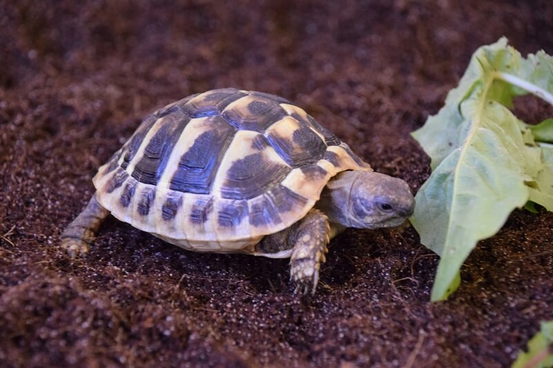 Hermann's Tortoise – Testudo Hermanni (UK CB 2020) - Out of Stock - Taking deposits for 2020 hatchlings now!!