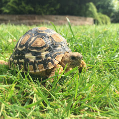 Leopard Tortoise - Stigmochelys Pardalis Babcocki (UK CB 2019)