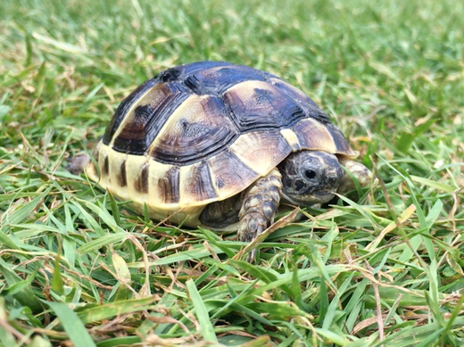 Mediterranean Spur-Thighed Tortoise - Testudo Graeca (UK CB 2020)