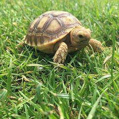 Sulcata Tortoise - Geochelone Sulcata (UK CB 2020)