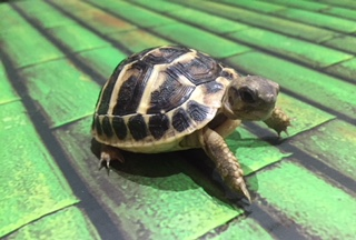 Western 'Dwarf' Hermann's Tortoise - Testudo Hermanni (UK CB 2020) - Out of Stock - Taking deposits for 2020 hatchlings now!!