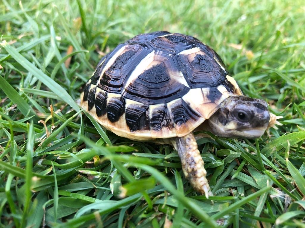 Western 'Dwarf' Hermann's Tortoise - Testudo Hermanni (UK CB 2020) - Out of Stock