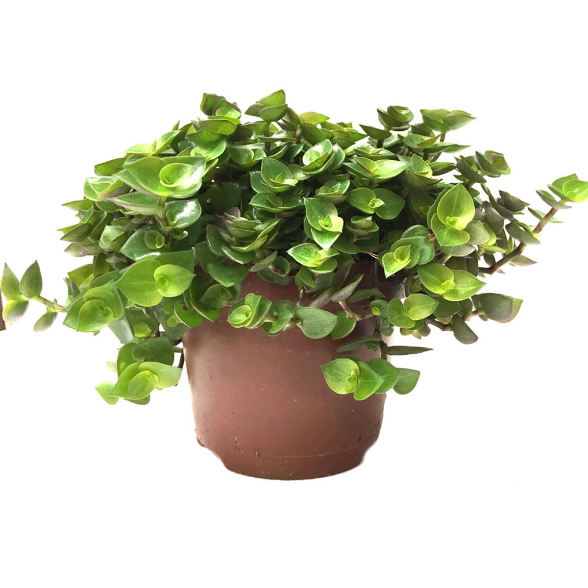 HabiStat Edible Plants - Turtle Vine (Callisia Repens), Large